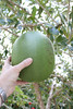 A calabash fruit- as big as a small head.