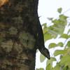 Lizard near Orquideario de Soroa