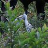 Cattle Egrets under Bull @ Soroa