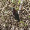 Green Heron @ Los Palacios fish ponds