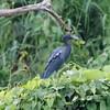 Little Blue Heron @ Los Palacios fish ponds