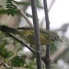 Prairie Warbler @ La Turba Trail