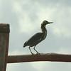 Green Heron @ Las Salinas de Parque Nacional Ciénaga de Zapata