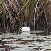 Water Lily @ La Turba Trail