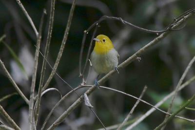Yellow-headed Warbler near Villa Soroa Hotel