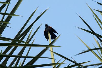 Tawny-shouldered Blackbird @ Soroa