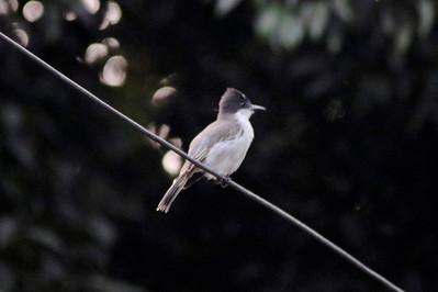 Loggerhead Kingbird near Villa Soroa Hotel