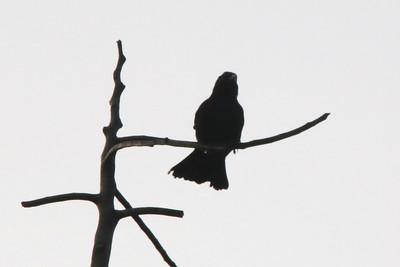 Cuban Blackbird @ Soroa