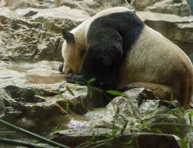 The pandas were behind dirty glass. Here one is drinking from a little stream inside a room no larger than a typical living room.