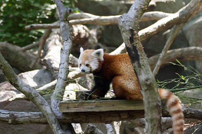 This is a red panda. It was outdoors perched on a wooden ledge, eating from a metal bowl.