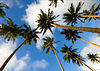 Coconut palms cover Taveuni Island. There is even a coconut research facility.  We actually met a Fijian who was hit in the head by a falling coconut and lived to tell the story!