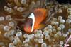 I finally found him! Nemo lives in Fiji.
