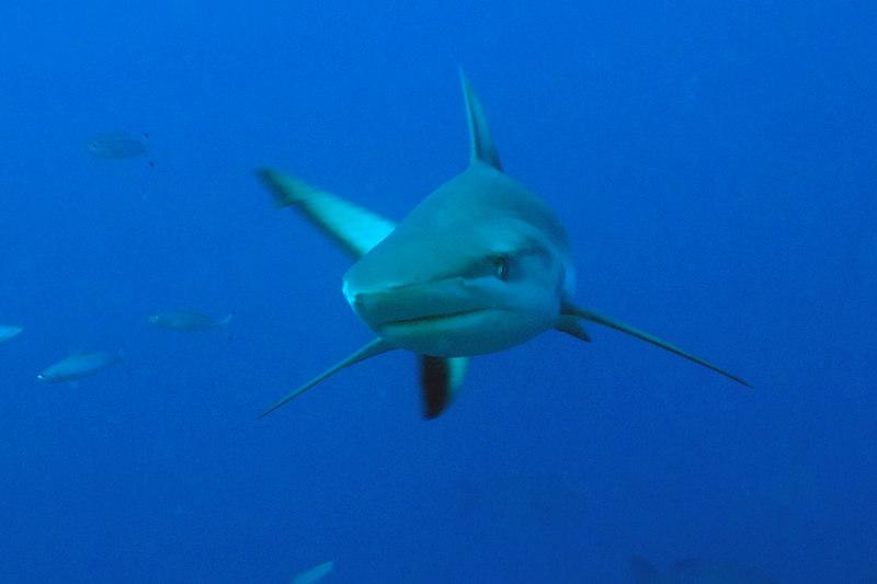 Gray reef shark, Charcarhinus amblyrynchos, Beqa Passage.