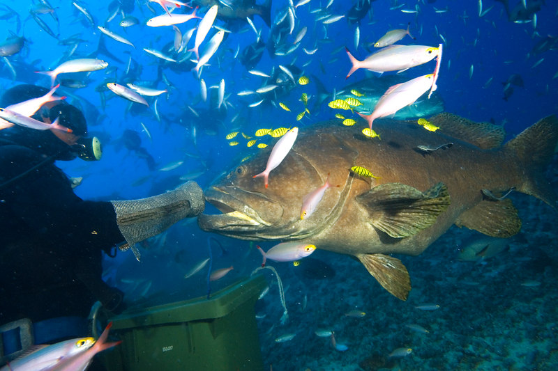 Ratu Rua - a giant grouper or Queensland groper, Epinephelus lanceolatus, being fed by shark feeder at Shark Reef Marine Reserve, Beqa Passage.