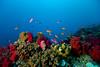 Typical soft coral reef with anthias, Somo Somo Strait.