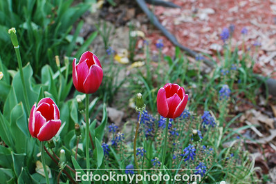 Tulips on the bloom.