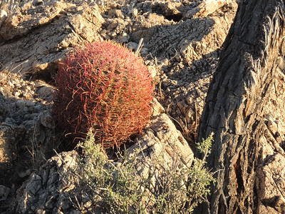 Barrel cactus where we camped in Kingston Wash 11-05-2017,  photo by Sherry