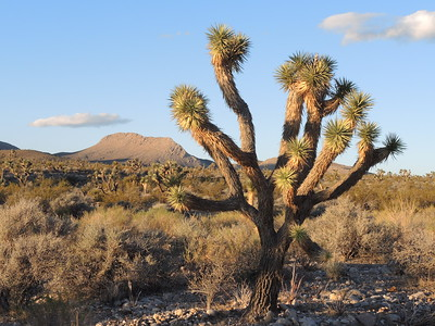 Joshua Tree where we camped in Kingston Wash. 11-05-2017,  photo by Sherry