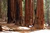 Sequoia_NP_158