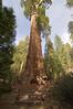 Sequoia_NP_199