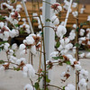 Cotton being grown at The Land