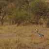 Black-headed crane, Masai Mara, Kenya