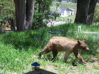 A young bear came snooping around the house right outside our bedroom window. We estimated he was about 2 years old.