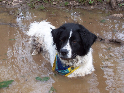Jester cooling off in a puddle along the Hermosa Trail.