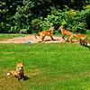 Close Enough : Prince Edward Island, Canada { Mother fox keeps a close eye on me that I keep a minimal distance, while the kids (kits) play.}