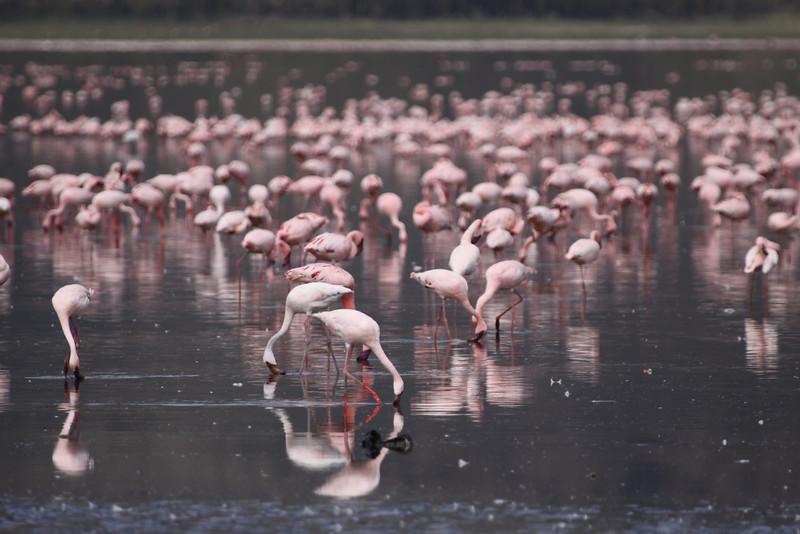 Flamingoes at Lake Nakura