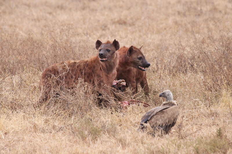 Hyenas Guarding the Kill