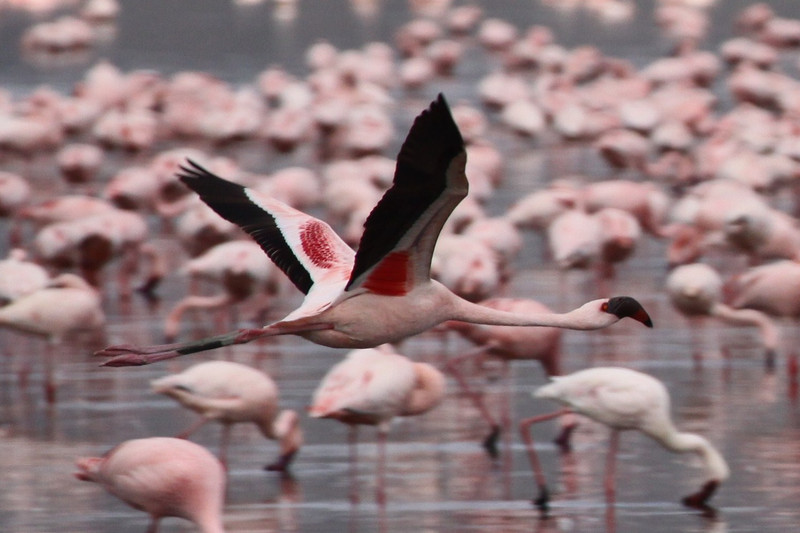 Flamingo in Flight