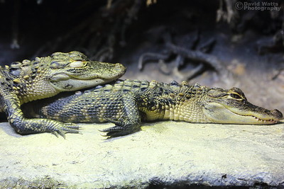 Small Alligators at the NC Aquarium