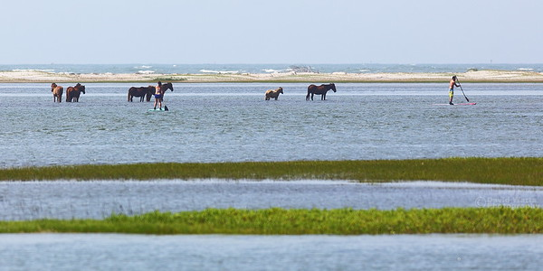 Wild Horses at the Rachel Carson Preserve