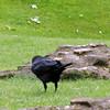A raven.