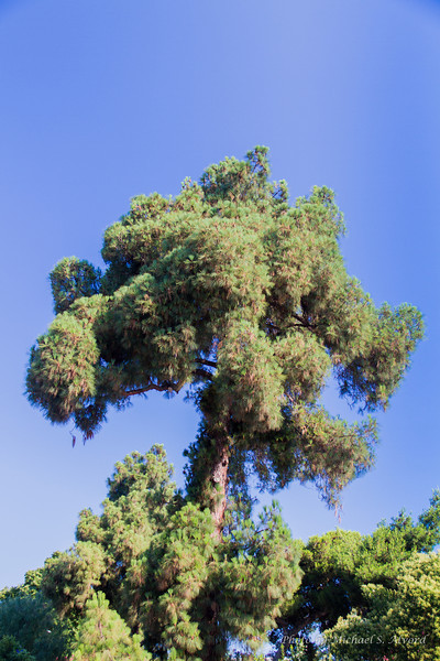 We were going to Pompeii and the parking lot outside of the area had this old pine tree.