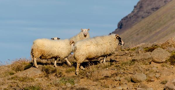 Icelandic sheep & horses