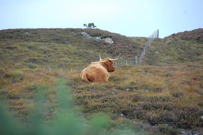 Highland cow, Edibane, Isle of Skye