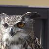 Eurasian Eagle Owl named Rosa on street leading up to Karlstejn Castle.