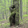 Interesting tree on our way up the hillside in the Bieszczady Mountains.