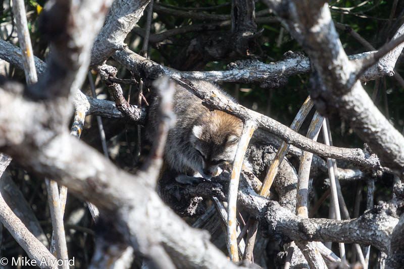 There are racoons in the mangroves, but this one gets feed by the Airboaters.