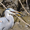A Great Blue Heron beating up an armored  catfish (Plecco) so that he can eat it without getting injured himself.