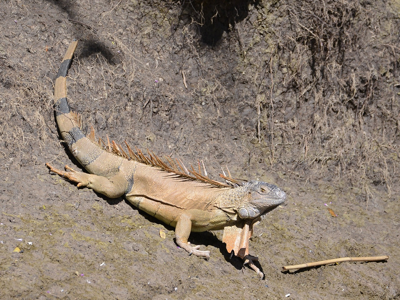 A male Green Iguana on the banks of the Rio Tempisque.