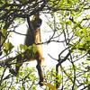 Spider monkey feeding over the trail at Rincon de la Vieja.