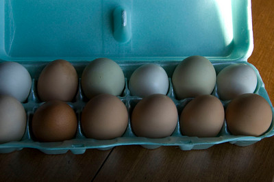 They lay these beautiful pastel eggs with bright yellow yolks