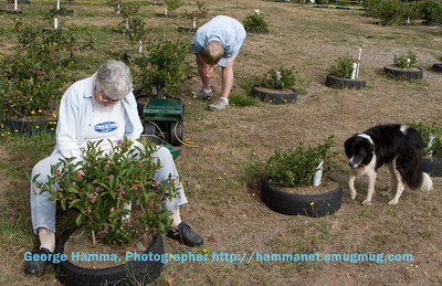 Virginia and Janet picking blueberries, with Ace supervising.