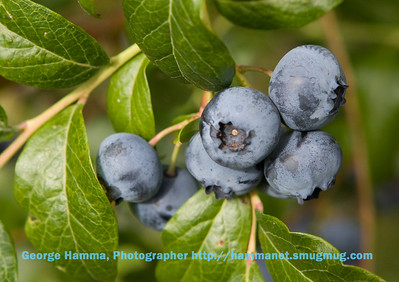 Some of this year's crop of blueberries.  Many plants produced berries that were enormous.