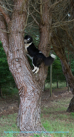 The amazing Ace.  Among his many tricks, he loves to show how he can climb trees.