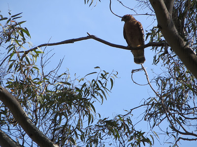 A large hawk in a tree.
