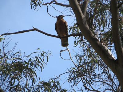 The nature preserve is slowly eradicating these non-native eucalyptus trees and establishing native flora.